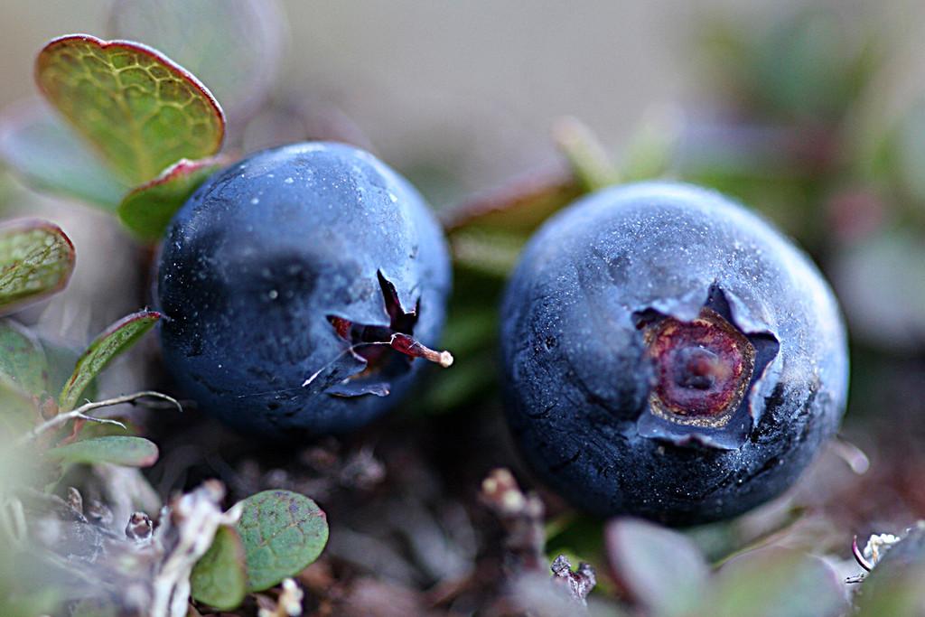 Bleuets sauvages
