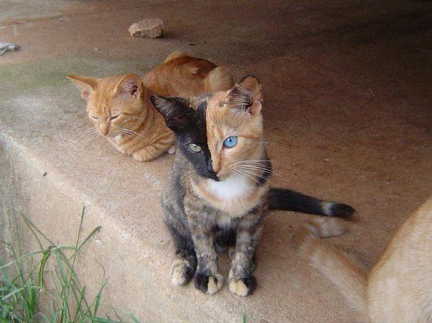 Le chat au double visage