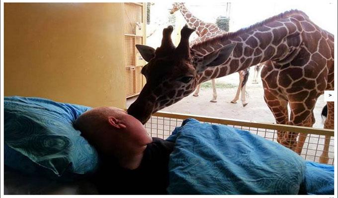 insolite-girafe