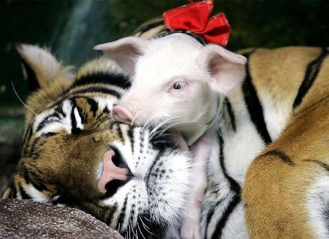tigre-cochonet