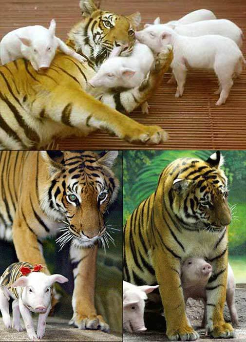 tigre-porcelets