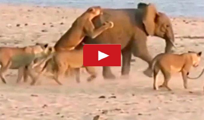 vidéo-éléphant