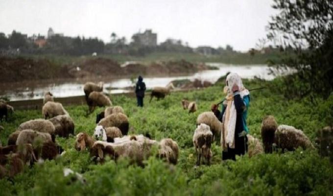 mouton-bergere-kasserine